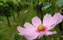 szőlőültetvény pillangóvirág