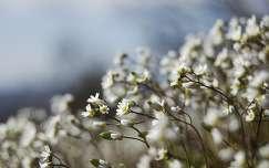 Tavaszi ködvirág