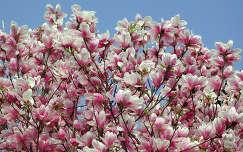 magnólia virágzó fa