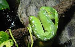 hüllők kígyó