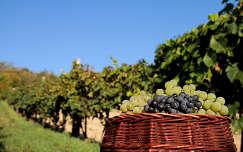 ősz szőlőültetvény szőlő gyümölcs gyümölcskosár
