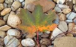 Juharlevél őszi színekben -fotó: Kőszály