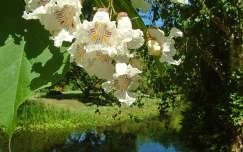 Szívlevelű szivarfa. Erdőteleki arborétum.