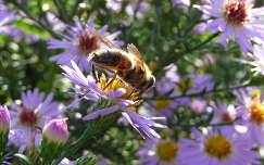 rovar őszirózsa méh