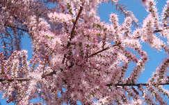 Virágzó cédrus