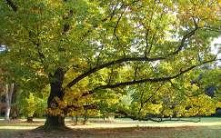 Szarvas - Arborétum - Őszi kocsányos tölgy - fotó: Kőszály