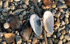 kagyló kavics