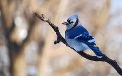 madár szajkó