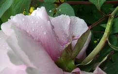 pünkösdi rózsa, vizcsepp