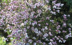 Ungvári Botanikus kert magnóliája, Ukrajna