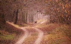 Őz az erdei ösvényen