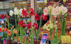 Amsterdam Holland,   bloembollenmarkt