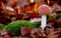 moha levél galóca gomba ősz