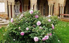 Magyarország, Székesfehérvár, Bory-vár, Százoszlopos udvar, pünkösdi rózsa