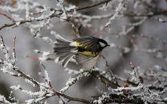 madár széncinege tél cinege