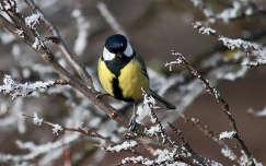 madár cinege zúzmara széncinege tél