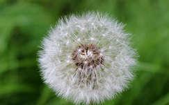 gyermekláncfű vagy pitypang (Taraxacum officinale)