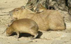 Kapibara két kicsinyével a Budapesti Állatkertben