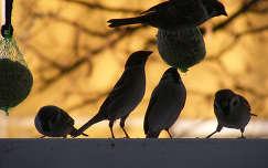 madár tél veréb
