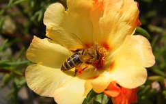 Csillagvirág méhecskével