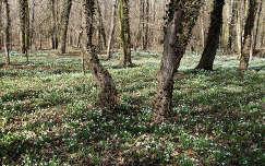 Magyarország, Alcsútdoboz, Alcsúti Arborétum - hóvirág-mező