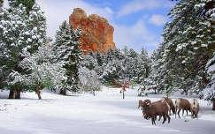 kövek és sziklák tél vastagszarvú vadjuh