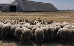 magyarország juh hortobágy háziállat