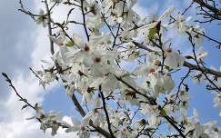 japán liliomfa (Magnolia Kobus)