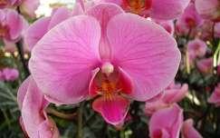 Orchidea  fotó: Kőszály