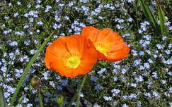 pipacs nefelejcs nyári virág