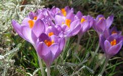 tavaszi virág krókusz tavasz nőnap