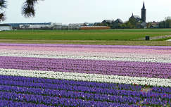 Holland, BloemBollenVelden, Hyacinten
