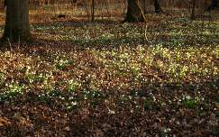 tőzikék a lenti erdőben (Zala megye - Magyarország)