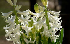 jácint tavaszi virág