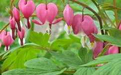 Jézus szive virág (szívvirág), Nógrádkövesd