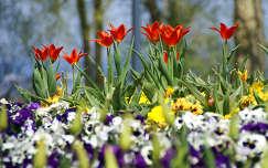 Tavaszi virágok, tulipánok a parkban