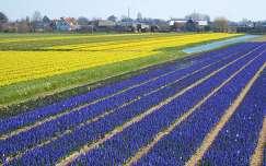 Nederlandse Bloembollenvelden, Foto Elly Hartog-vander Put
