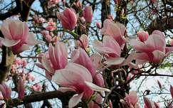 tavaszi virág magnólia virágzó fa