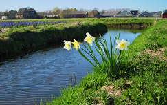 Holland, Bloembollenvelden