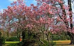 magnólia virágzó fa kertek és parkok tavasz