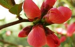 Japánbirs bimbója