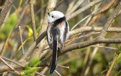 őszapó madár