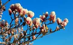 liliomfa vagy magnólia (Magnolia)