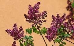 közönséges orgona (Syringa vulgaris)
