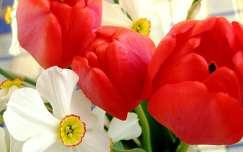 Tulipán és nárcisz