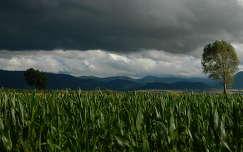 fa kukoricaföld gabonaföld felhő