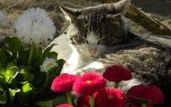 macska százszorszép