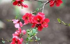 japán birs (Chaenomeles japonica)