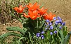 jácint tulipán