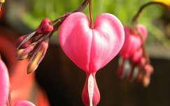 szívvirág valentin